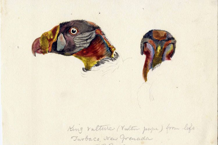 King Vulture (bird), Turbaco, New Grenada (condor), 1830. Titian Ramsey Peale, from American Philosophical Society library